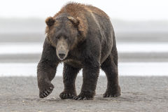 Grizzly Bear. A big Grizzly Bear strolling on beach at Hallo Bay. The left ear is damaged, there is a scar on the nose and a claw is lost on the front right paw Stock Images