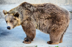 Grizzly bear. Big grizzly bear in the zoo Stock Photography