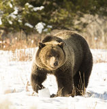 Grizzly bear (#793, blondie)) in deep snow with paw up slightly) Royalty Free Stock Images