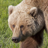 Grizzly bear boar Stock Photography