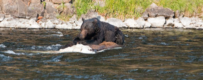 Grizzly Bear Boar feeding on a dead Buffalo carcass at Lehardy Rapids in Yellowstone. Grizzly Bear Boar feeding on a dead Buffalo carcass in the Lehardy Rapids Royalty Free Stock Photo