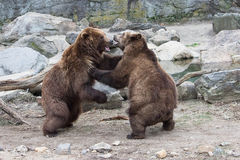 Grizzly Bear- Bronx Zoo New York. A pair of grizzly bears playfully wrestle within their habitat at the Bronx Zoo New York USA stock photo