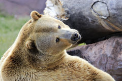 Grizzly bear. Brown grizzly bear beside rocks and tree Royalty Free Stock Photo