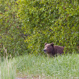 Grizzly bear and bushes Royalty Free Stock Photography