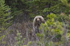 Grizzly bear in the bushes