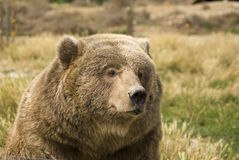 Grizzly Bear bust. Grizzly Bear (Ursus arctos), a massive predator, is found primarily in Alaska, western Canada and Rocky Mountain United States Royalty Free Stock Image