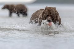 A grizzly bear carrying a big salomon, during low tide, in Katmai. stock images