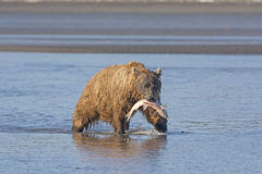 Grizzly Bear Carrying its Salmon Royalty Free Stock Photos