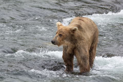 A Grizzly bear catches salmon in the shallow waters at the base of a waterfall - Brook Falls - Alaska Stock Photo
