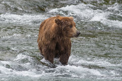 A grizzly bear catches salmon in the shallow waters at the base of a waterfall. Brook Falls, Alaska. A grizzly bear catches salmon in the shallow waters at the royalty free stock image
