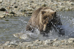 Grizzly bear catching fish Stock Images