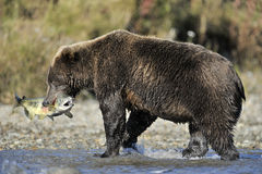 Grizzly bear catching fish stock photography