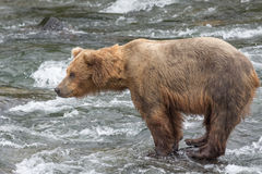 A Grizzly bear catching salmon - Brook Falls - Alaska Royalty Free Stock Images