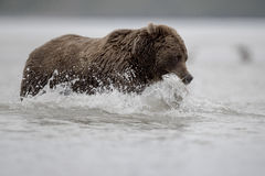Grizzly Bear. Grizzly Bear with caught salmon. Photo taken on August, 2016, in Alaska Stock Images