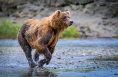 Grizzly bear on the chase royalty free stock photography