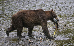 Grizzly bear with chum salmon. Close-up of a grizzly bear after successfully catching a chum salmon during the summer salmon run in the Tongass national forest Royalty Free Stock Photos