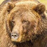 Grizzly Bear. Close Facial Portrait of Large Adult Grizzly Bear Royalty Free Stock Photos