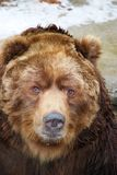 Grizzly bear close up Stock Photo