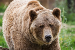 Grizzly bear. Close up of an adult grizzly bear on green grass stock photos