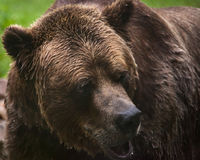 Grizzly bear. Close up shot of grizzly bear Stock Image