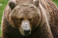 Grizzly bear. Close up shot of grizzly bear Stock Photos