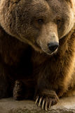 Grizzly Bear Closeup with Claws Showing Royalty Free Stock Photo