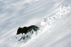 Grizzly bear creates snow balls (Ursus arctos), Alaska, Denali N Stock Images