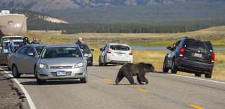 Grizzly Bear Crossing Royalty Free Stock Photo