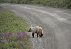 Grizzly Bear in Denali National Park Alaska. Grizzly Bear crossing in Denali National Park Alaska Royalty Free Stock Photos