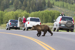 Grizzly Bear crossing hazard. Grizzly Bear crossing in teton National Forest stock photography