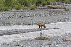 Grizzly Bear Crossing a Wilderness River Royalty Free Stock Photos