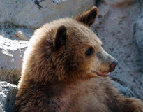Grizzly Bear Cub Stock Image