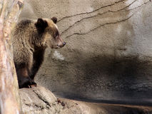 Grizzly bear cub Royalty Free Stock Photos
