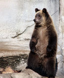 Grizzly bear cub. A cute brown grizzly bear cub standing upright Stock Photos