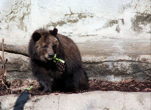 Grizzly bear cub. A cute brown grizzly bear cub munching on veggies Stock Photo