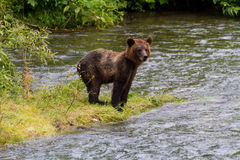 Grizzly bear cub Royalty Free Stock Images