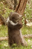 Grizzly Bear Cub. Side view of grizzly bear cub standing in grassy meadow balancing against tree truck Stock Photos