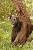 Grizzly Bear Cub. Front view of grizzly bear cub standing in grassy meadow balancing against tree trunk Stock Photo