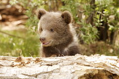 Grizzly Bear Cub. Portrait of grizzly bear cub peeking over old log with green foliage in background Royalty Free Stock Image