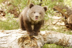 Grizzly Bear Cub. Front view of grizzly bear cub standing on old log with green foliage in background Stock Photos