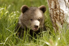 Grizzly Bear Cub. Portrait of grizzly bear cub surrounded by green grass next to tree trunk Royalty Free Stock Image