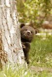 Grizzly Bear Cub. Front view of grizzly bear cub peeking from tree trunk in grassy meadow Royalty Free Stock Photography