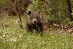 Grizzly Bear Cub. Front view of grizzly bear cub walking in grassy meadow with green foliage in background Stock Image