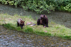 Grizzly bear. And Bear Cub Catching Salmon at hyder Alaska stock images