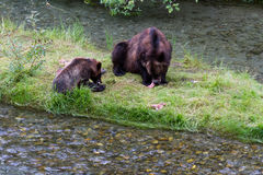 Grizzly bear. And Bear Cub Catching Salmon at hyder Alaska royalty free stock images