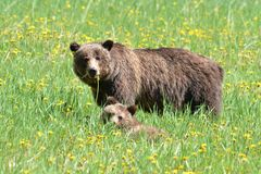 Grizzly bear with cub in field of dandelions Royalty Free Stock Photo