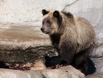 Grizzly bear cub light brown Royalty Free Stock Images