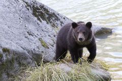Grizzly bear cub on rock along Chilkoot River Stock Photos