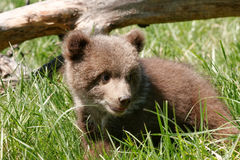 Grizzly bear cub sitting in green grass Stock Photo