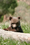 Grizzly bear cub sitting on the log Royalty Free Stock Image